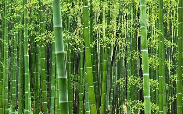 Bamboo-resilienxa